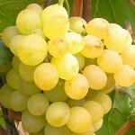 черенок или саженец винограда - ЛКХ Махотка
